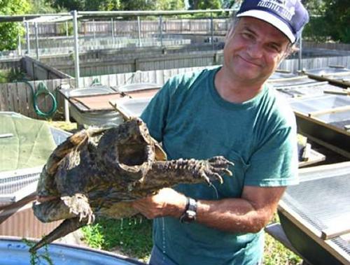 当地的鳄鱼龟。呵,是大鳄龟类的。