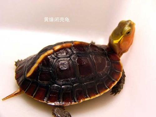 黄缘闭壳龟
