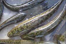冬季生鱼常见病害防治技术