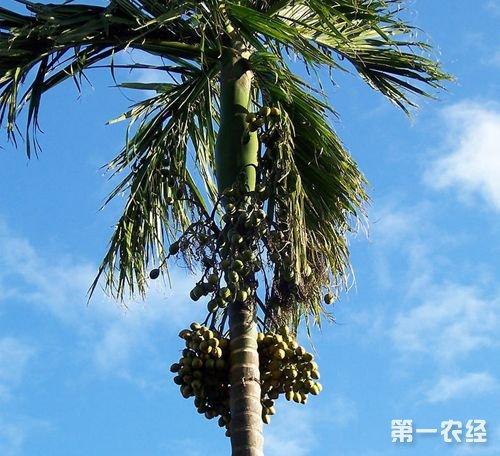 海南槟榔产业绿色改造  农民成功致富