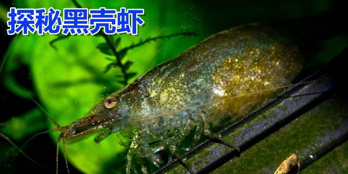 黑壳虾养殖技巧和问题集锦