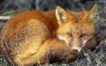 受宠的狐狸20150123