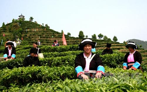 <b>广西凌云茶叶与国际接轨</b>
