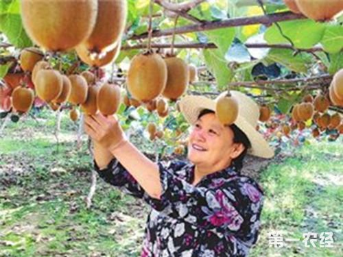 河南南阳西峡猕猴桃致富--李华玲