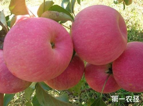 辽宁葫芦岛特产:绥中苹果