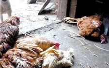 福建一男子生产销售病死鸡被判刑7年6个月