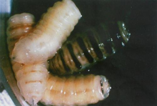 养羊常见寄生虫病的症状及预防