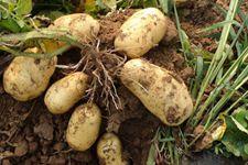 马铃薯:有地位更要有价位