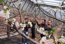 新疆兵团134团樱桃花开香满棚