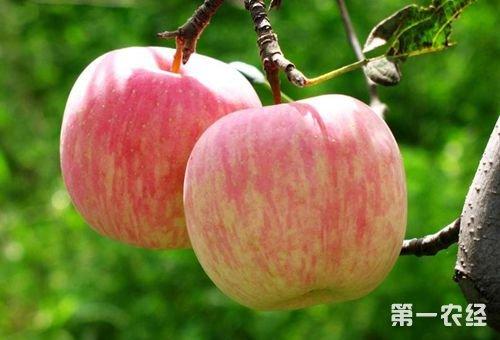 北京特产--延庆国光苹果