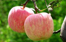 北京特产:全国最好的国光苹果--延庆国光苹果