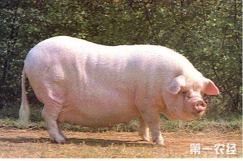 三,杂交利用      用赣州白猪作父本为本地母猪进行杂交,其杂种图片