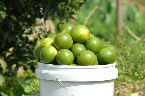 大跌眼镜 绿色的橙分外甜20150129