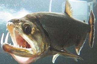 食人鱼等凶猛鱼类欣赏[组图]