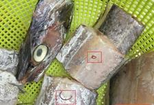 新鲜带鱼皮内爬出长虫吓坏买家