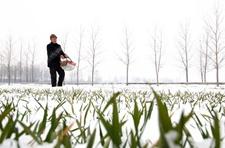 山东郯城县瑞雪过后小麦忙施肥