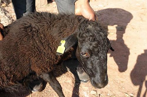 以稀为贵的乌骨羊20150203