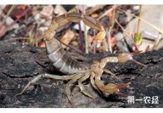 蝎子吃什么?