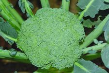 <b>绿菜花为什么会空茎?</b>