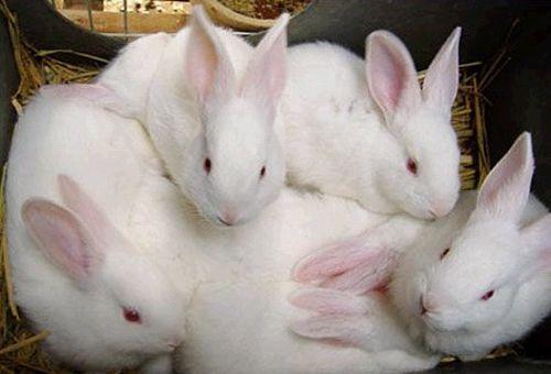 如何防治仔兔断奶易发病?