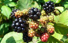 南京特产:白马黑莓