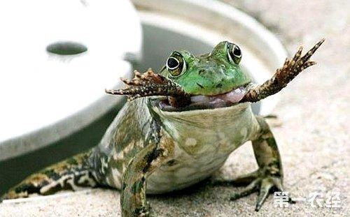 牛蛙的内脏结构图