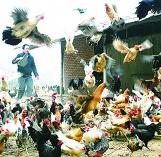 鹊山鸡养殖:鸡中的战斗机!