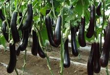 山西晋城4万亩蔬菜年节喜迎丰收