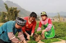 贵州省望谟桑郎早熟蔬菜成增收利器