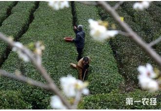 湖北宣恩春茶采摘 满园绿意满眼春