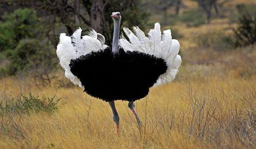 鸵鸟为什么会发生食管裂创?