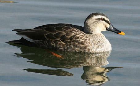 """安徽安庆:""""飞""""比寻常的斑嘴鸭"""