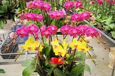 天津科技园培育几十个蝴蝶兰品种