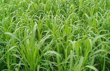 牧草种植之高丹草种植
