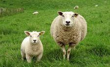 <b>绵羊长癣怎么治疗?</b>