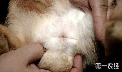专家教你如何分辨公母兔 上图片