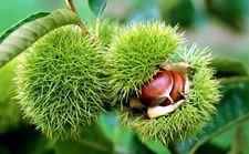<b>板栗树种植技术</b>