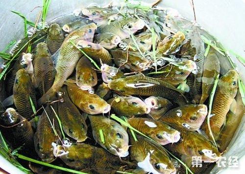 全州禾花鱼