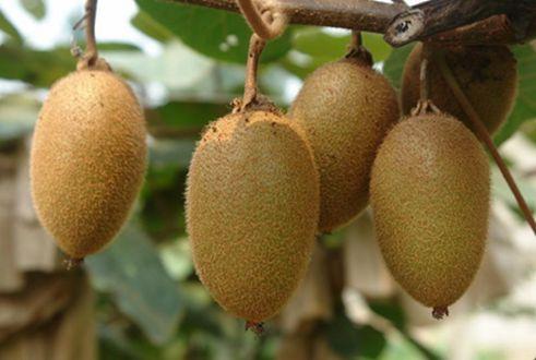 陕西特产:周至猕猴桃