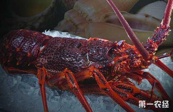 如何养殖澳洲龙虾养殖(淡水龙虾养殖)