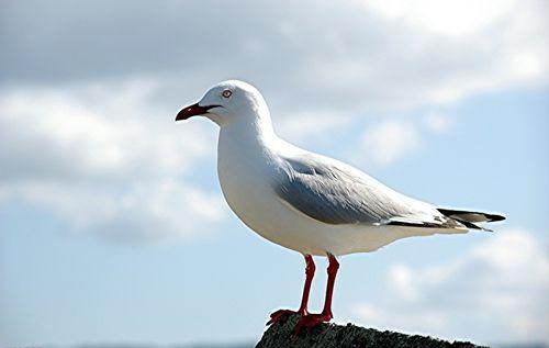 鸽子常见疾病之鸽胃肠炎防治图片