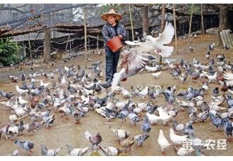 """广西象州""""鸟叔""""韦成雄养鸽致富!"""