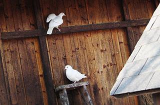【养鸽专题】鸽子养殖技术|视频