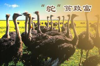 【养鸵鸟】鸵鸟养殖技术 鸵鸟养殖前景