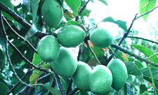 锡兰橄榄种植技术有哪些?