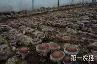 福建水吉镇新品种 大球盖菇 获丰收 地方动态 第一农经网