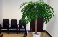 深受家庭、办公环境喜爱的幸福树如何养护?