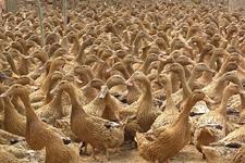<b>如何防治鸭子减蛋综合症?</b>