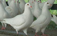 如何预防以及防治肉鸽发生嗉囊炎?