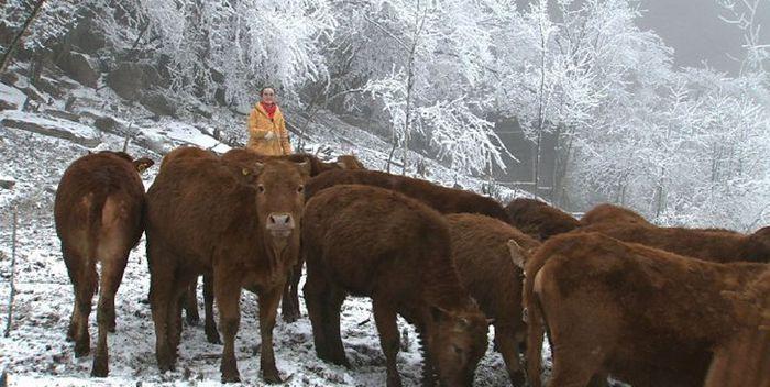 湖北恩施海归美女歌手许群群回乡当牛倌,投入1000多万带乡亲致富!